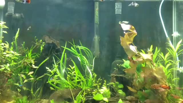 Watch Redline guppy tank GIF on Gfycat. Discover more related GIFs on Gfycat