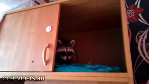 Watch Raccoon GIF by is_it_beef on Gfycat. Discover more gifs GIFs on Gfycat