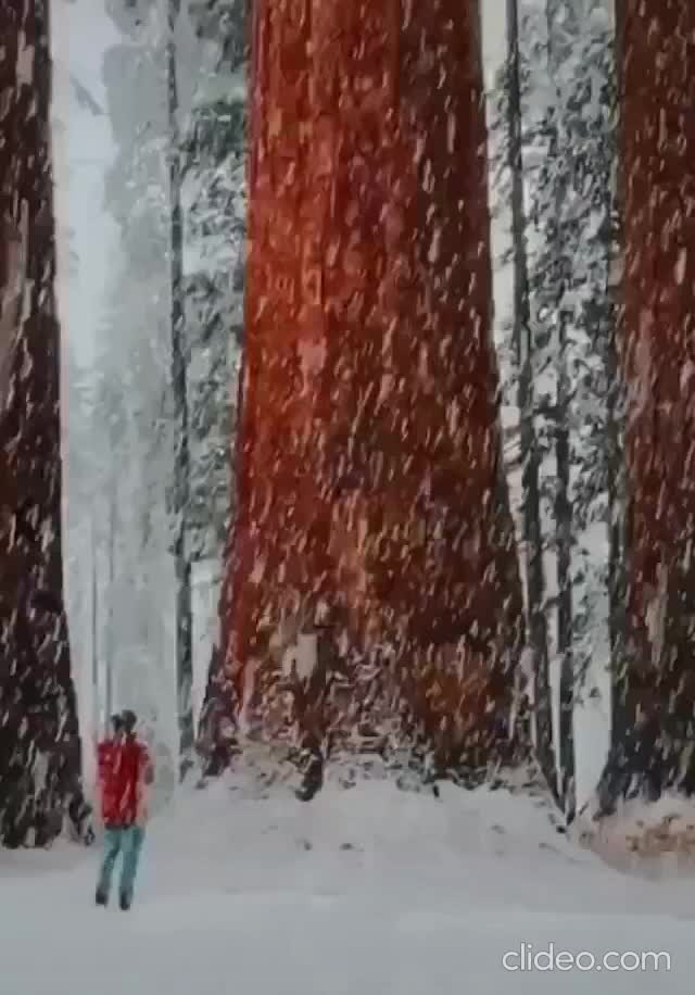 Watch and share Snowing Amongst The Sequoias In California GIFs by hellsjuggernaut on Gfycat