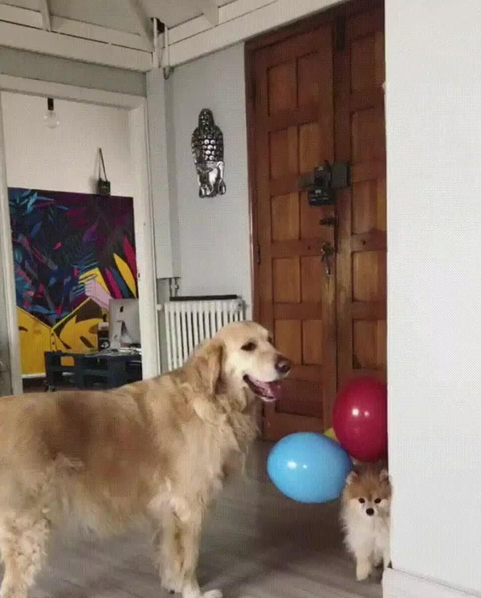 GIF Brewery, adorable, aww, balloon, cute, doggo, dogs, flying, fren, funny, up, Up you go fren GIFs