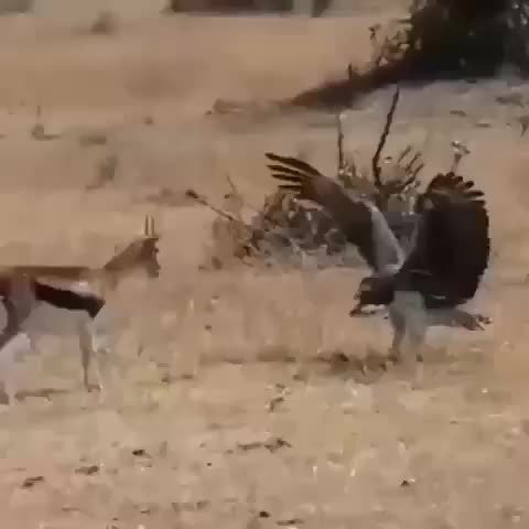 Watch Martial eagle warding a gazelle mother off the baby it just killed GIF by tothetenthpower (@tothetenthpower) on Gfycat. Discover more related GIFs on Gfycat