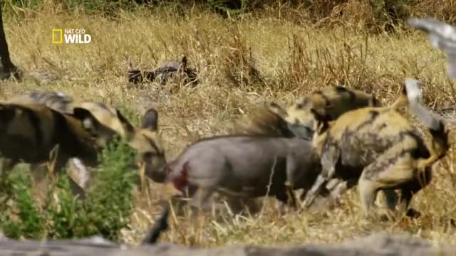Watch and share African Wild Dog GIFs and Warthog GIFs on Gfycat