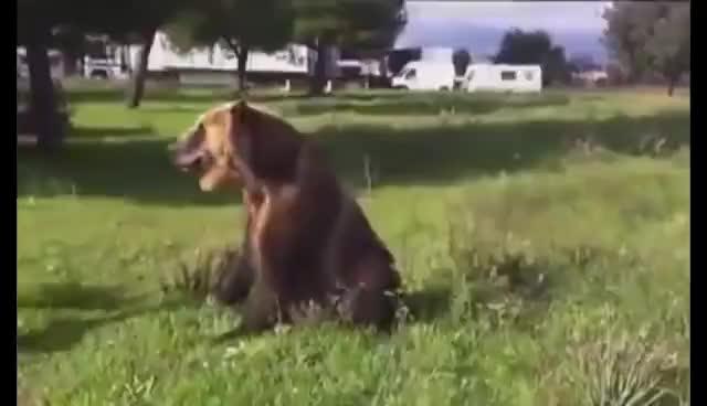 Bear, Bears GIFs