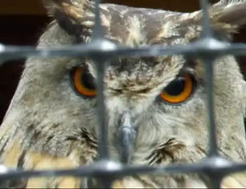 Watch eagle owl says MWEAH GIF on Gfycat. Discover more eagle owl, mweah, owl GIFs on Gfycat