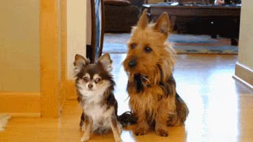 Watch and share Scottish Terrier GIFs on Gfycat