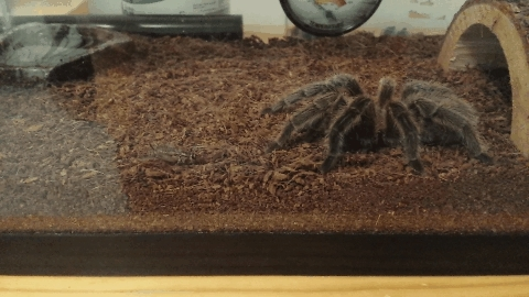 tarantulas, Gif of my rose hair eating a cricket (reddit) GIFs