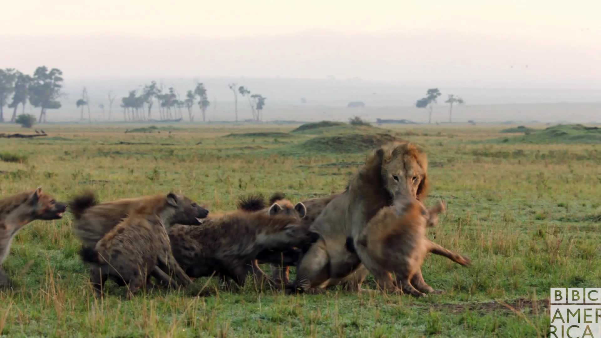 animal, animals, bbc america, bbc america dynasties, bbc america: dynasties, dynasties, fight, fighting, lion, lions, oh no you didn't, oh snap, Dynasties Lion Bullied by Hyenas GIFs