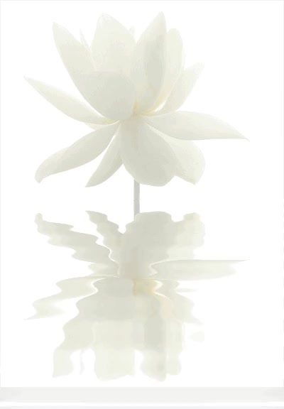 Watch white-lotus-flower GIF on Gfycat. Discover more related GIFs on Gfycat