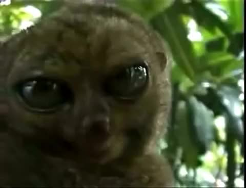 Watch and share Dramatic Lemur GIFs and Frightened GIFs on Gfycat