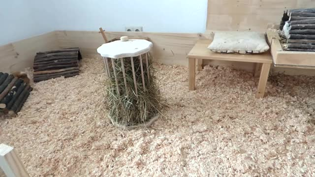 Watch Guinea Pig Cage Cleaning Routine GIF by @cxnnor_ on Gfycat. Discover more cage, cavy, corning, cute, funny, guinea, pig, pop, popcorning, tour GIFs on Gfycat