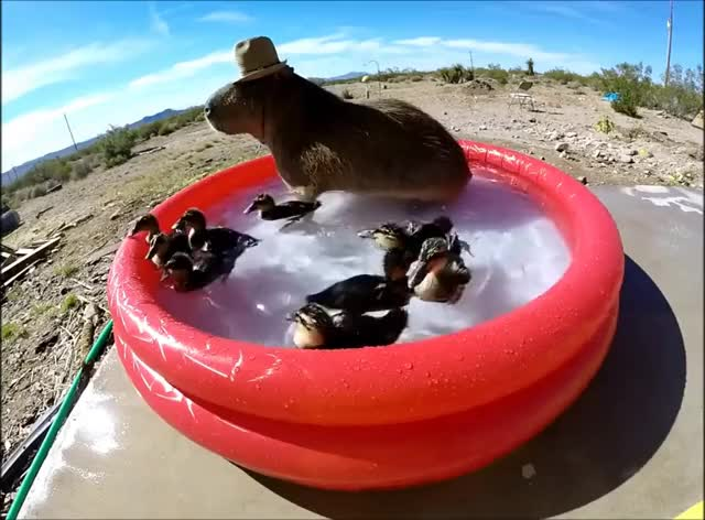 Watch and share Capybara Pool Party! GIFs on Gfycat