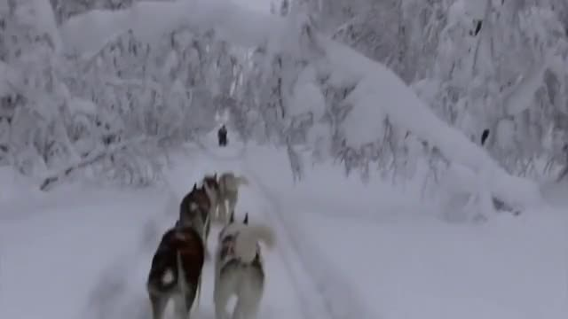 Watch Finland, January 2012 GIF on Gfycat. Discover more 850, Dog, EOS, Forest, Husky, awesome, beutifull, chiens, cold, de, finland, finlande, ll Tags, nature, neau, point, prachtig, sauna, skiing, snow GIFs on Gfycat