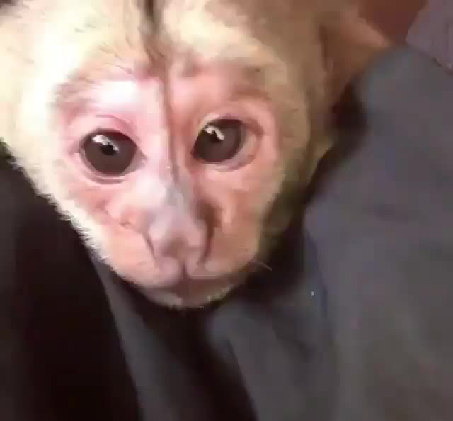 Watch Baby monkey losing his fight with sleep GIF by tothetenthpower (@tothetenthpower) on Gfycat. Discover more related GIFs on Gfycat