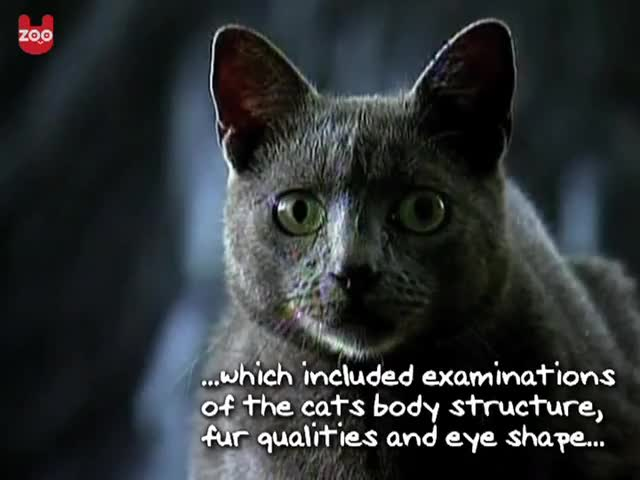 Watch New Cat Breed - Cuban Blue GIF on Gfycat. Discover more blue, cat, new GIFs on Gfycat