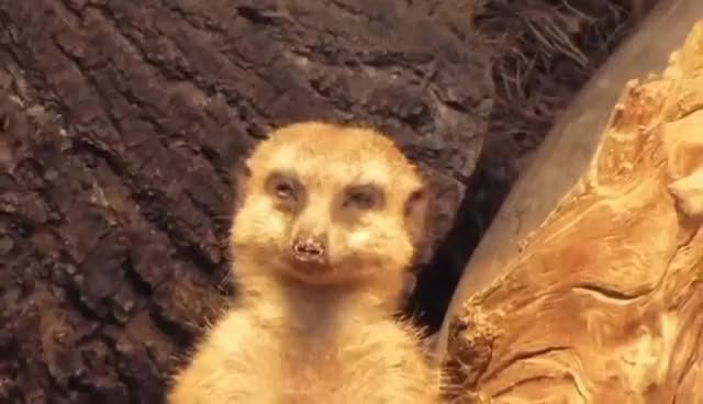 Watch and share Tired Meerkat GIFs on Gfycat