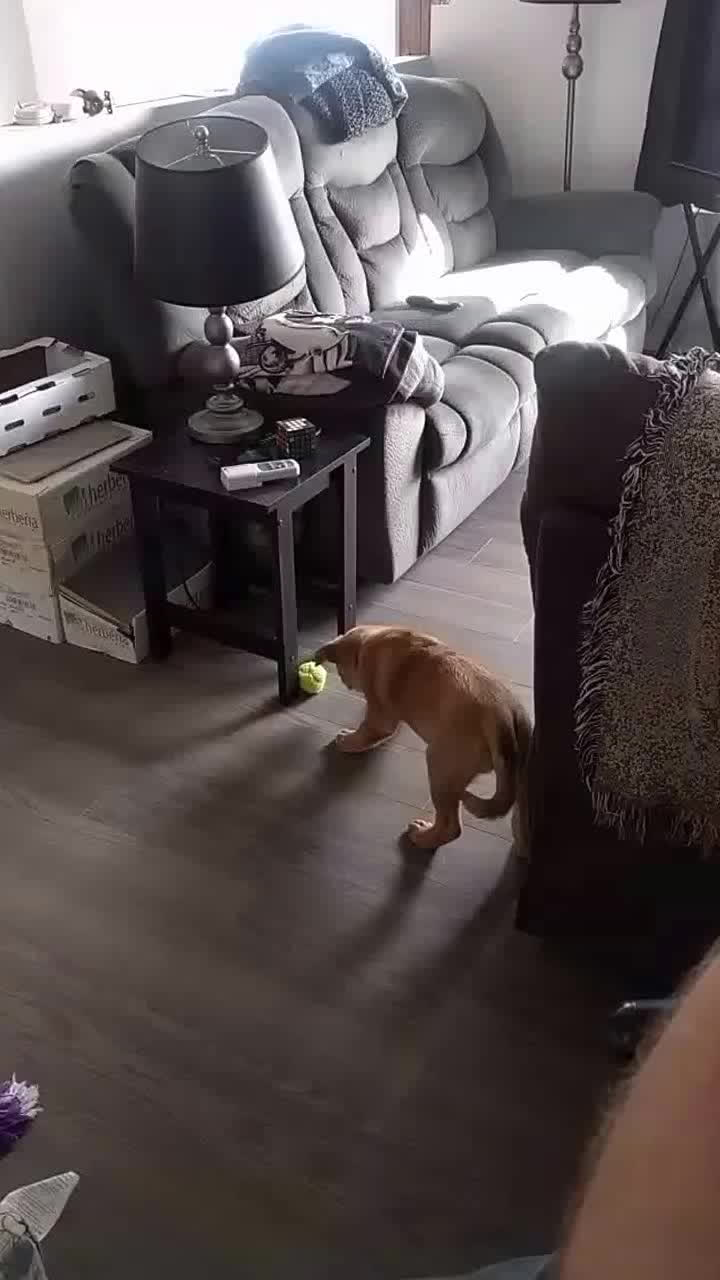 rarepuppers, Josie trying to play fetch with Diesel. GIFs