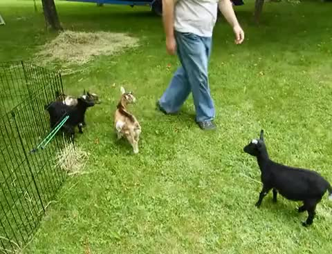 Watch this goat GIF on Gfycat. Discover more animal, animals, goats GIFs on Gfycat