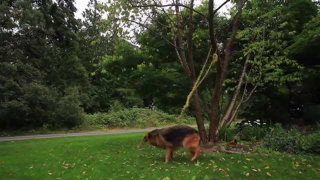 Watch GSD Luca GIF by @wholeein on Gfycat. Discover more German, German Shepherd Dog (Dog Breed), dog GIFs on Gfycat