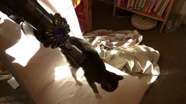 Watch My cat loves being vacuumed (reddit) GIF on Gfycat. Discover more catgifs GIFs on Gfycat