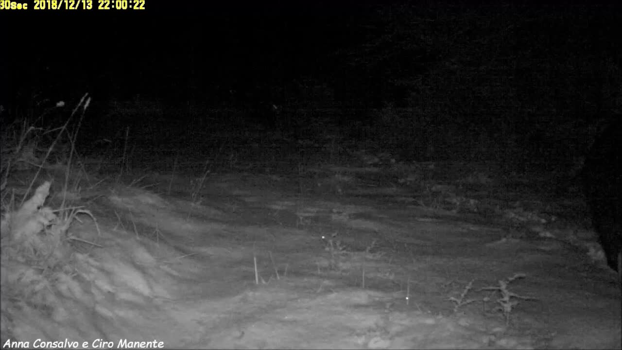 Wolves tracking a herd of Wild Boar GIFs
