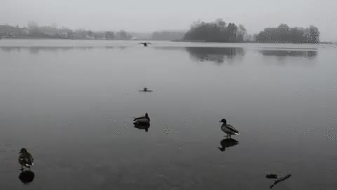 Watch and share Is Olympic Duck Curling A Thing? GIFs by HoodieDog on Gfycat