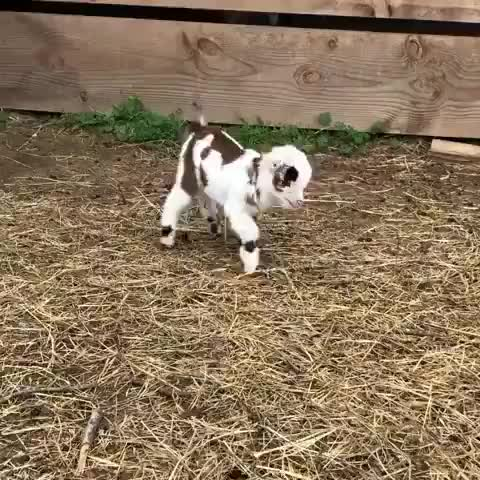 Baby goat jumping around