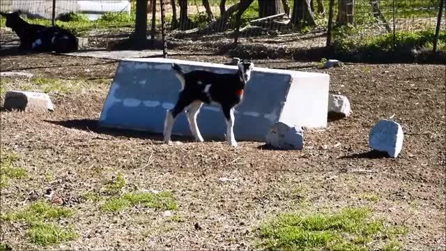 Watch Bumble GIF by KNS Farm (@knsfarm) on Gfycat. Discover more aww, bumble, cute, eyebleach, goat kid, knsfarm GIFs on Gfycat