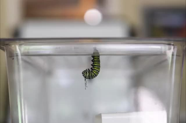 Watch and share Monarch GIFs on Gfycat