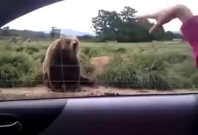 Watch and share Bear GIFs on Gfycat