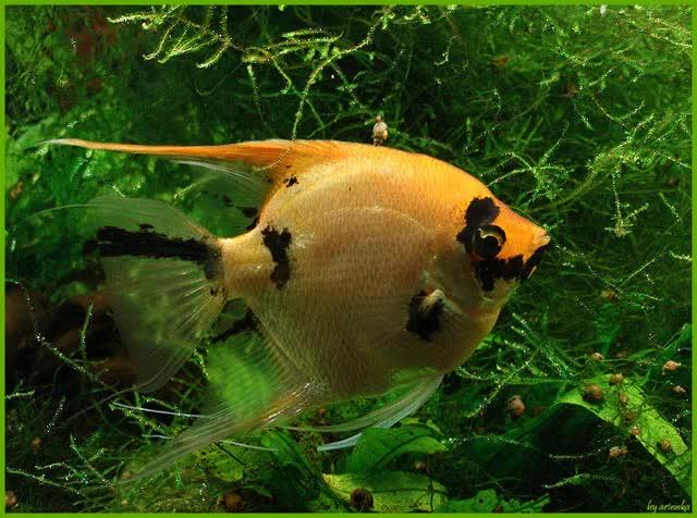 Watch and share Золотая Рыбка С Черными Пятнышками GIFs on Gfycat