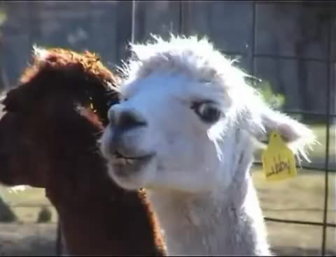 Watch and share Possessed Alpaca GIFs on Gfycat