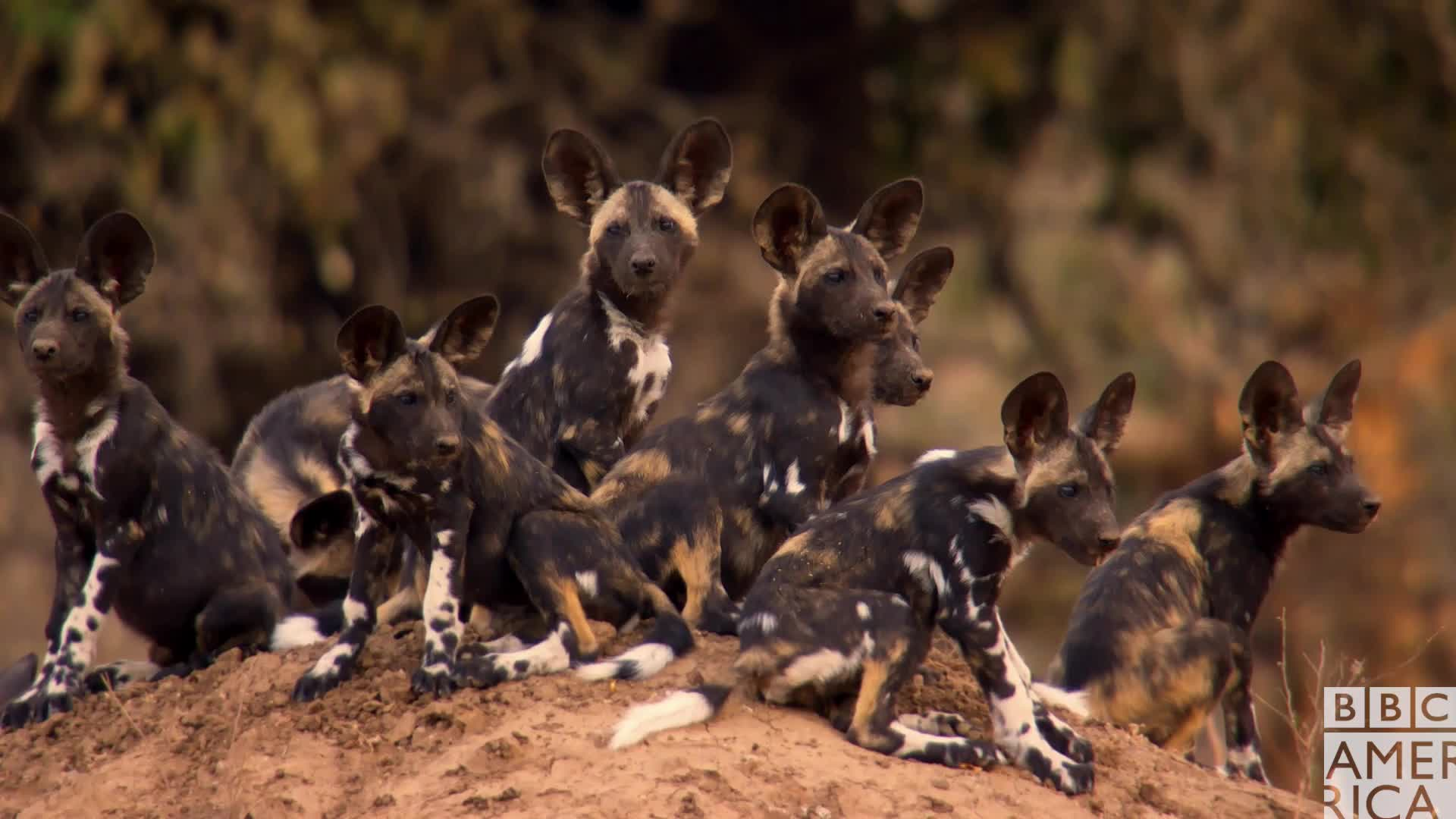 animal, animals, bbc america, bbc america dynasties, bbc america: dynasties, cute, dynasties, friends, painted wolf, painted wolves, sqaud, wolf, wolf pack, wolves, Dynasties Curious Wolf Puppies GIFs
