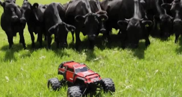 Watch and share Cows Chase An RC Car GIFs on Gfycat