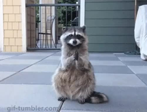 Watch and share Raccoon GIFs on Gfycat
