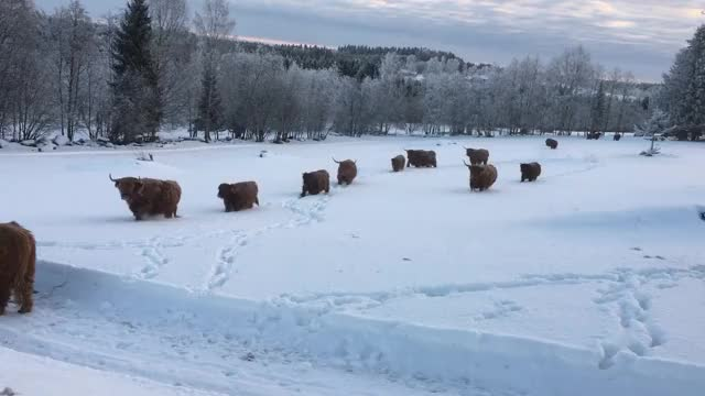 Watch and share Naturegifs GIFs and Cows GIFs by Highland Cattle of Saarela on Gfycat