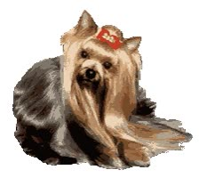 Watch and share Yorkies For Sale, Akc Yorkies, Yorkshire Terriers animated stickers on Gfycat