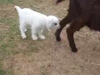 Watch and share Fainting Goats GIFs and Laughing GIFs on Gfycat