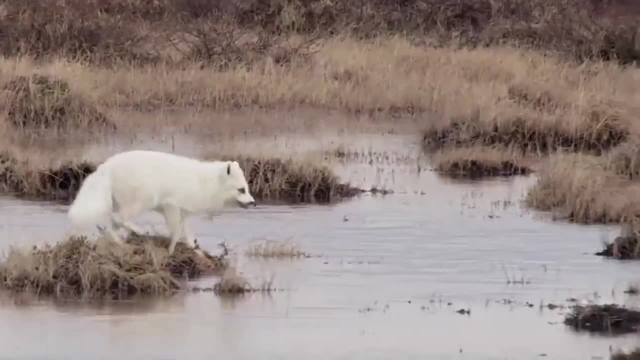 Arctic Fox steals an egg from a pair of Canada Geese GIFs