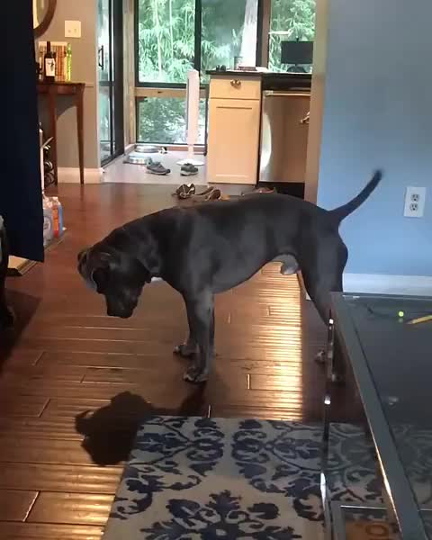 pit bulls🐶, Bamboozled by his own shadow GIFs