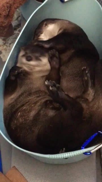 GifsofOtters, popular, Enter the wrestle bucket GIFs