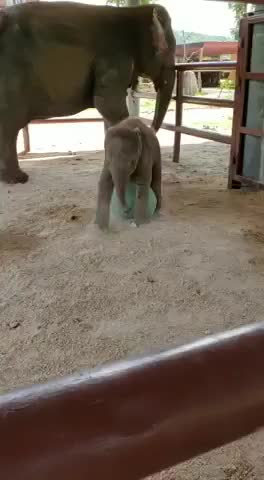Watch and share Baby Elephant At Elephants World Thailand GIFs by PM_ME_STEAM_K3YS on Gfycat