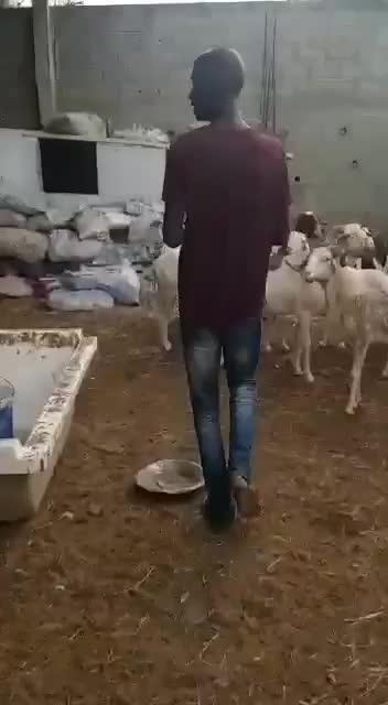 Sheep attac