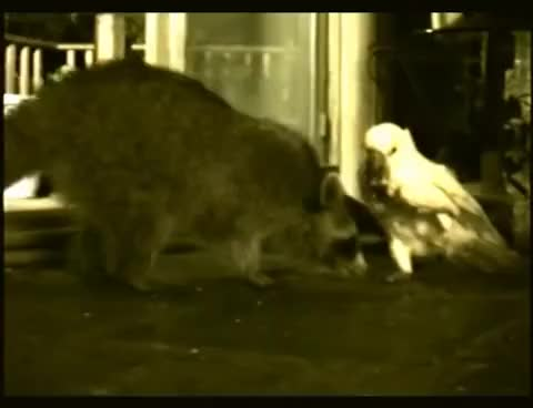 Watch and share BACKYARD BANDITS | A Raccoon Makes Friends With A Cockatoo | By: HinderRUST™ GIFs on Gfycat