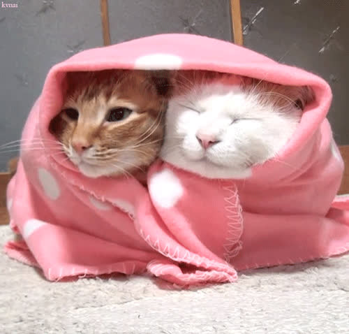 cat, chilling, cute, Blanky cats GIFs