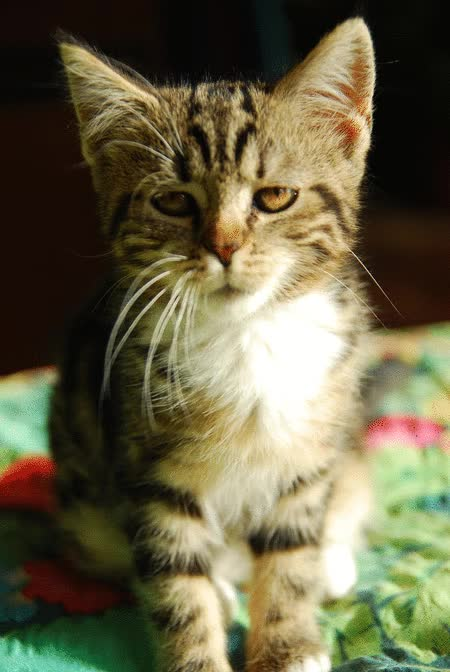 Watch and share Rawr Kitten GIFs on Gfycat