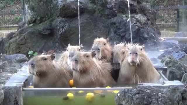 Watch this animals GIF on Gfycat. Discover more animals, bath, capybara, capybaras, cute, enjoy, onsen GIFs on Gfycat