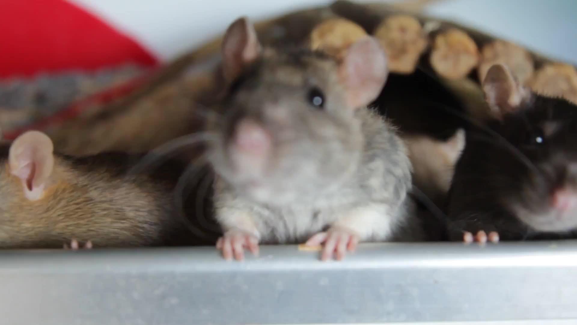 Rats 1 GIFs