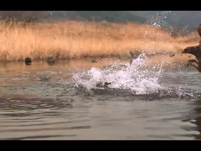 Watch and share Goshawk Attacking An Eastern Spot-billed Duck GIFs on Gfycat