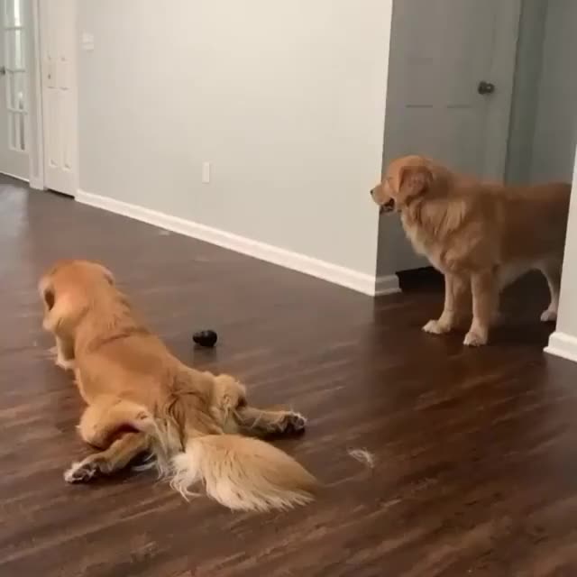 Watch and share Sploot GIFs and Dogs GIFs by zedasd on Gfycat