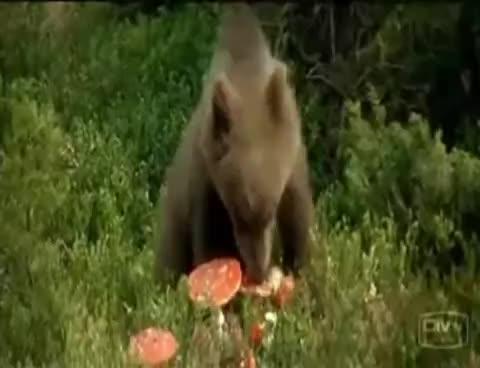 Bear Eats Psychedelic Mushrooms GIFs